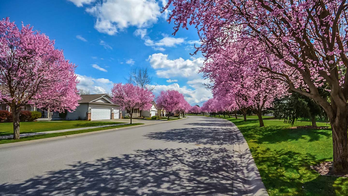 street view of neighborhood with cherry blossom trees